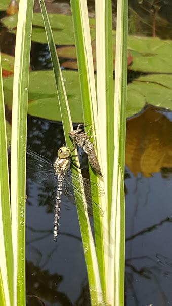 Libelle geschlüpft